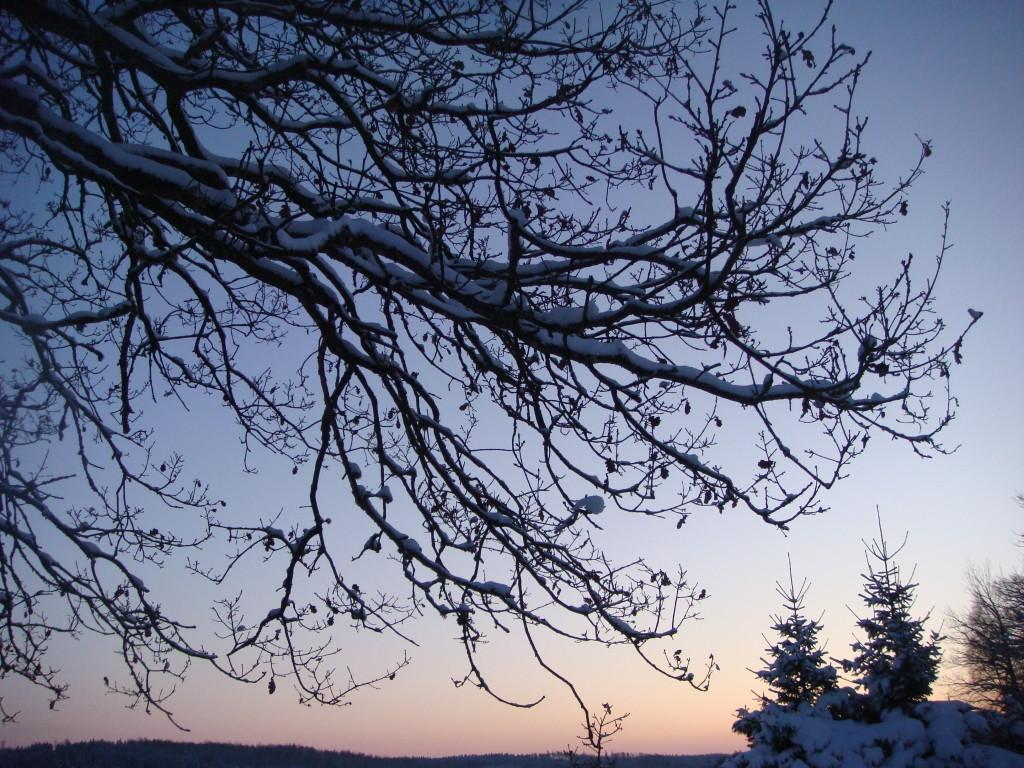 Träd i vinterskymning