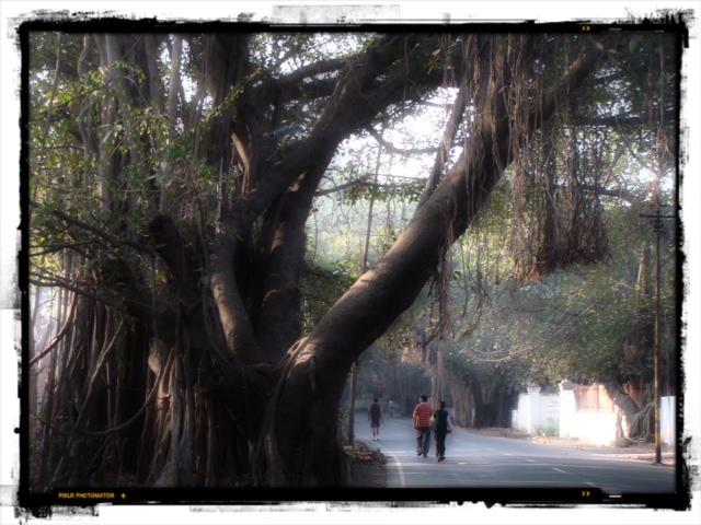 Banyanträd 2