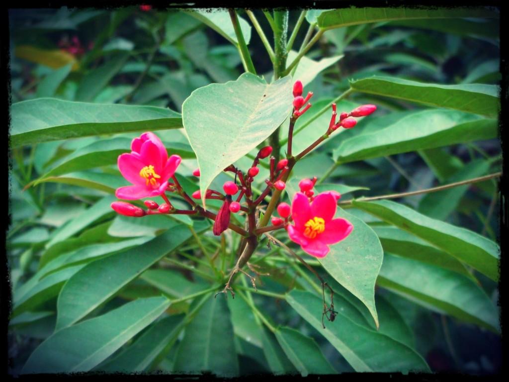 Rosa blommande buske