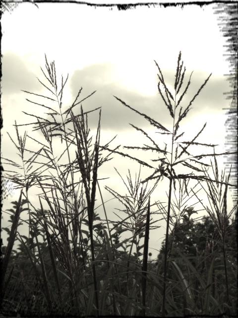 Miscanthusgräs