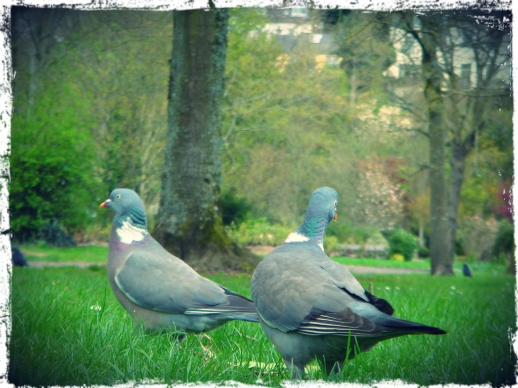 Duvor i parken