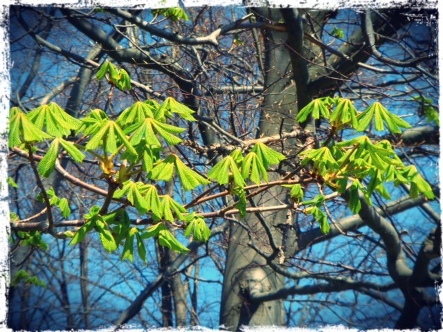Chestnuts in blossom