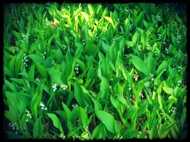 Mängder av liljekonvaljer