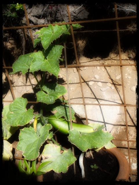 Första gurkan