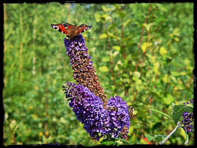 Fjäril på fjärilsbuske