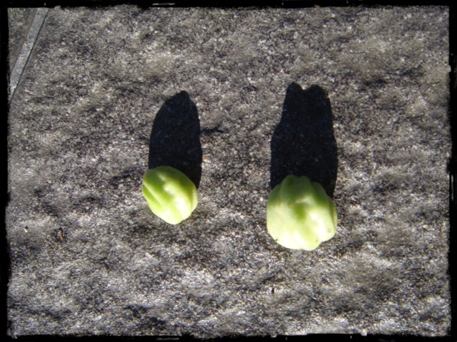 Krassefrön