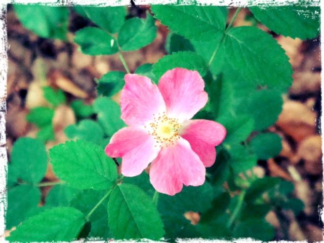 Liten ros i bokskogen