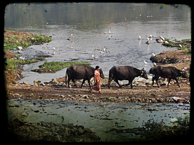 Bufflar vid floden