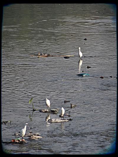 Hägrar vid floden