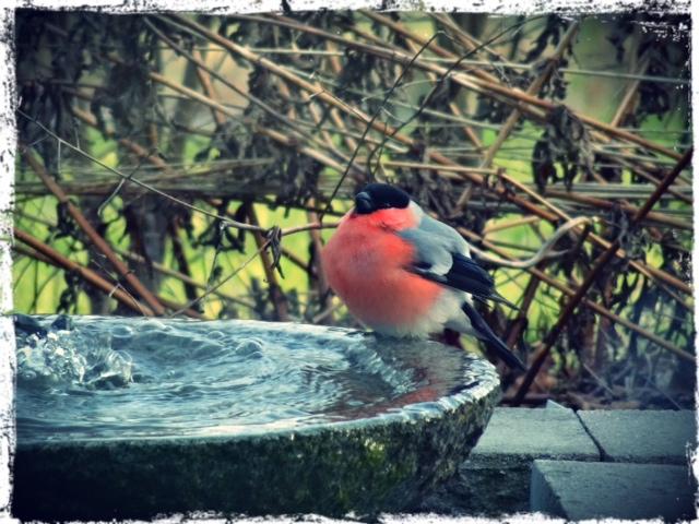 Småfåglarna - inte minst domherren - älskar min lilla fontän!