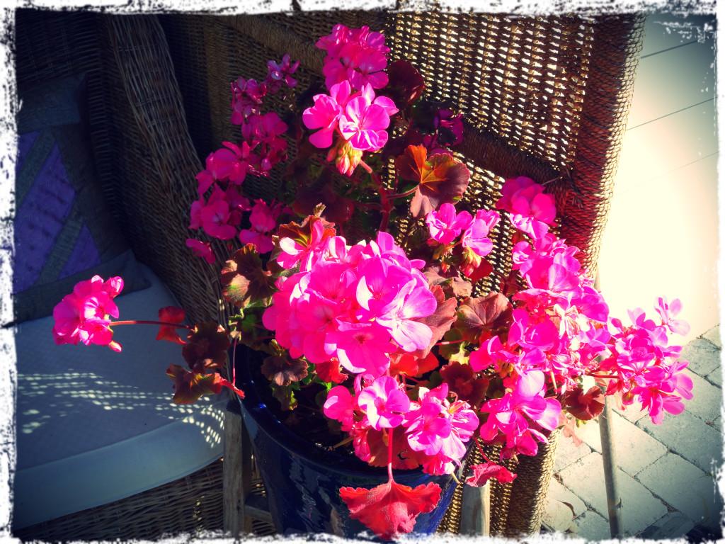 Pelargonen blommar rikligt, 140515