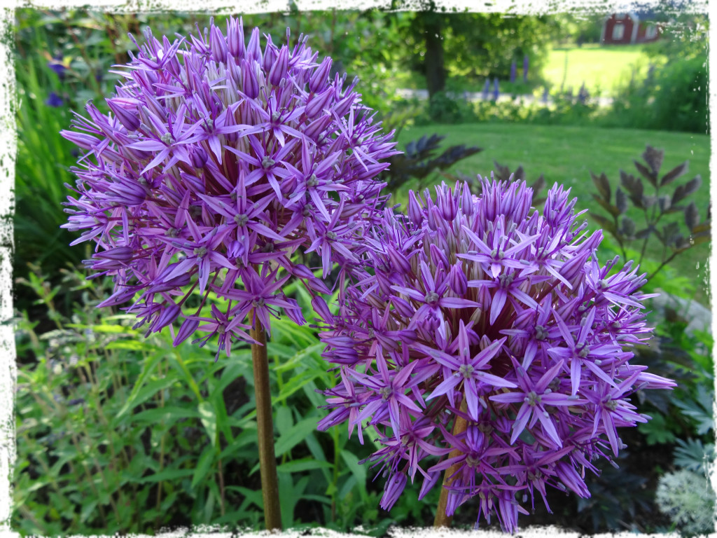 Allium, 140601
