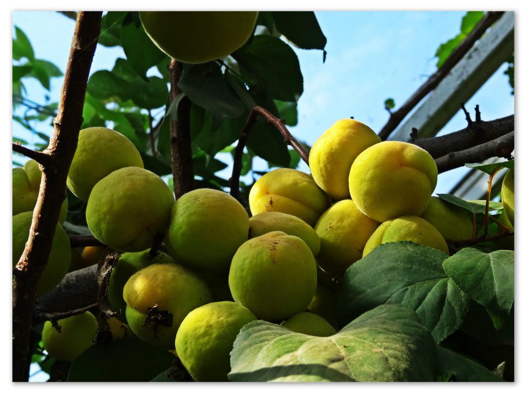 Aprikoser, Mandelmanns