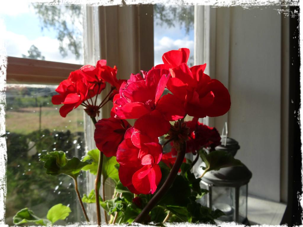 Röd pelargon i fönstret