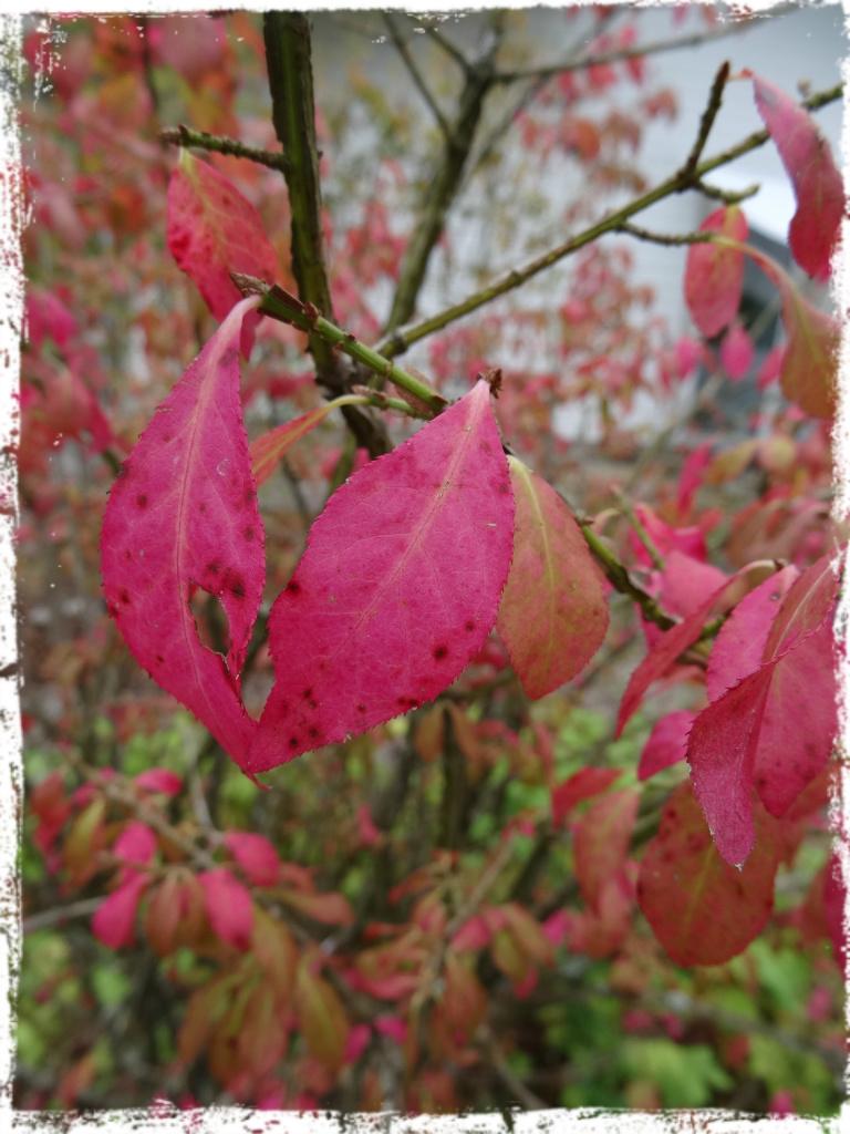 Vingad benved - en av höstens alla färgspridare.