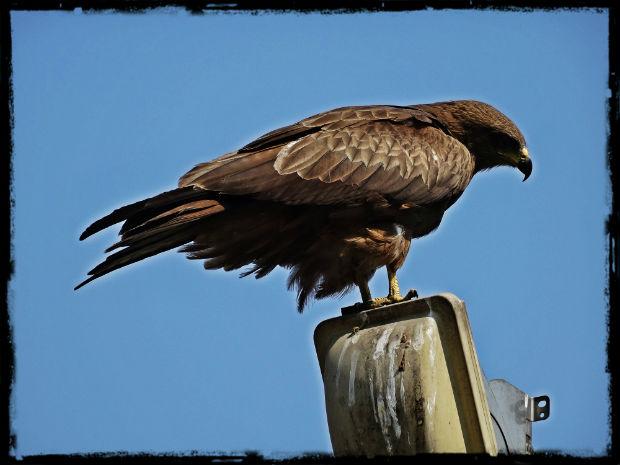 Rovfågel L