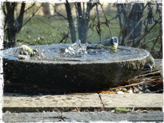 Småfåglarna köar till vårbadet. De är i länge och älskar att skvätta runt i det iskalla vattnet. På bilden är det två fåglar som delar på badutrymmet.