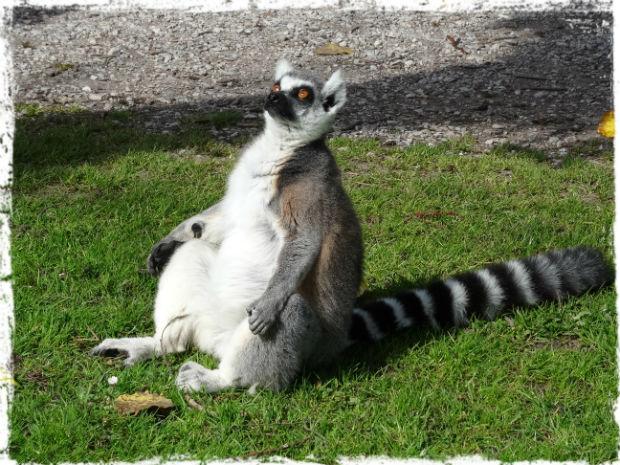 Lemuren L