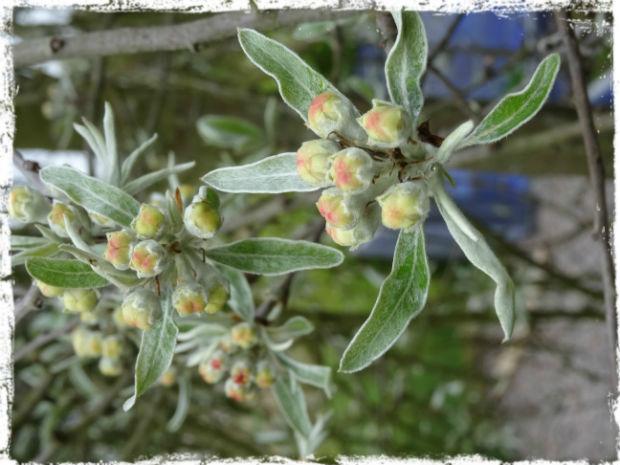 Blomknopp på silverpäronet L