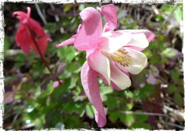 Rosa akleja L