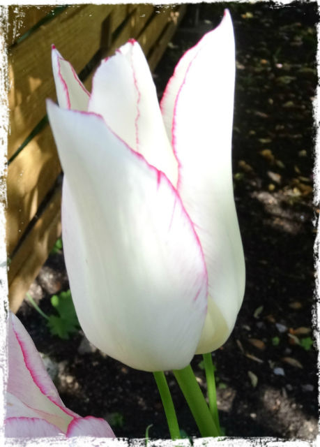 Ljuvlig vit tulpan i gästhemmets trädgård.