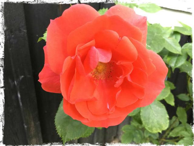 Kerstis ros 1 L