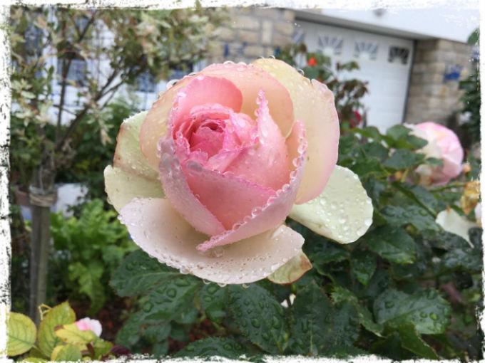 Regnvåt ros L