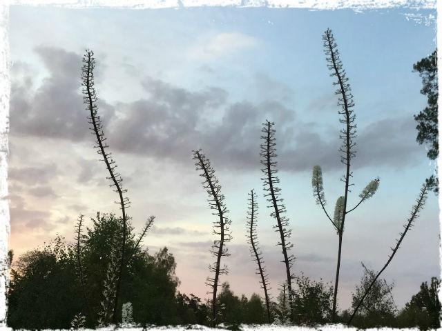 Än blommar silveraxet 1 L