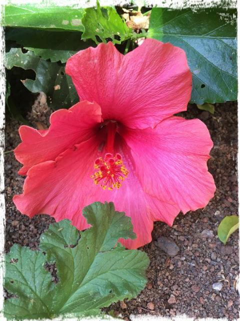 Hibiscus L