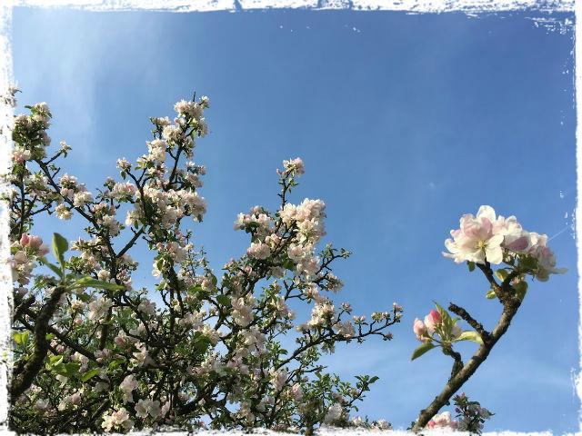 Äppel i blom