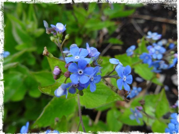 Den kaukasiska förgätmigejen blommar för fullt! Tack!