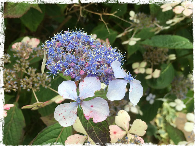 Blå hortensia 1 L