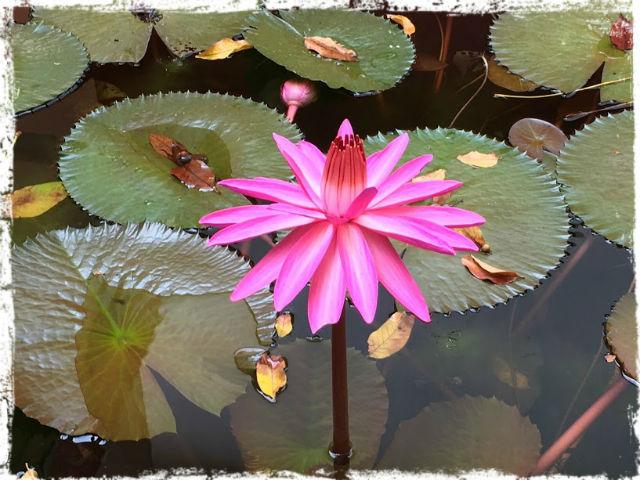 Lotus klar L